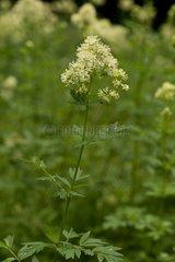 Common Meadow-rue flowers - Allindelille Fredskov Denmark