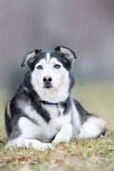 Siberian Husky lying in the grass - France
