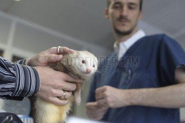 Veterinarian examinating a domestic ferret
