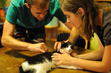 Home auscultation of a sick cat by a veterinarian