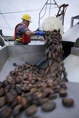 Unloading sea cucumbers Newfoundland Canada