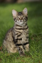 European brown tabby cat with long hair sitting in the grass