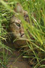 European brown tabby cat with long hair hidden in the grass