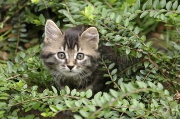 Young European brown tabby cat with long hair in a bush