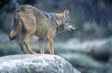 Loup ibérique sur un rocher sous la pluie Espagne