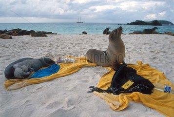 Lions de mer des Galapagos couchés sur serviette de touriste