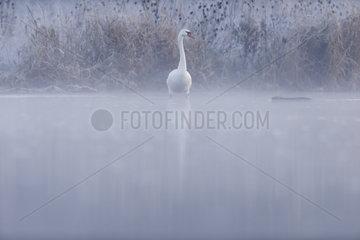 Mute Swan (Cygnus olor) locking at a coypu at dawn  Ile du Rhin  Alsace  France