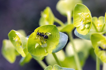 Madwoman's milk (Euphorbia helioscopia)  With a black ant (Lasius niger) visiting the flowers in spring  Massif des Maures hill  Var 83  France