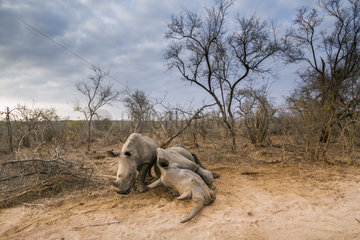 Southern white rhinoceros (Ceratotherium simum simum) Female dying and young  Kruger National Park  South Africa