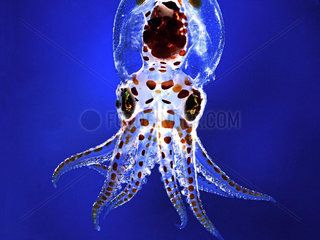 Last planktonic stage of Common Octopus larva (Octopus vulgaris). It is at this stage that this young octopus leaves the planktonic life and descends on the bottom to feed on other prey than the plankton.