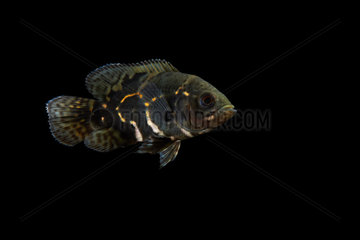 Young Oscar  Tiger oscar  Velvet cichlid  Marble cichlid (Astronotus ocellatus) on black background  native from South America  captive from France