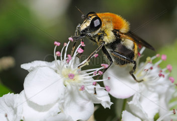 Hover fly on Hawthorn flower - North Vosges France