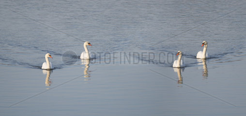 Couples of Mute Swans (Cygnus olor) on the water  Sauer Delta Nature Reserve  Rhine Border  Munchhausen  Alsace  France