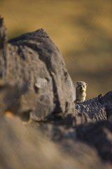 Rock dassie in the Namib-Naukluft NP - Namibia