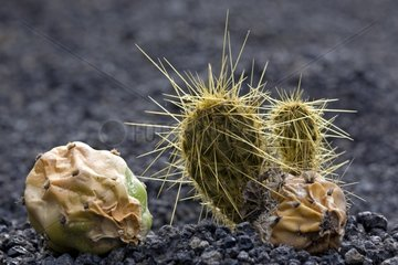 Cactus grows a giant on dried fruit