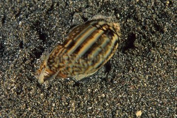 Shell on the sand Manado Indonesia