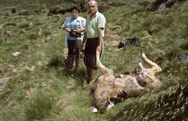 Staff of bear tracking and dead calf Pyrenees France