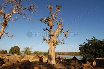 Baobab taillé pour ses feuilles Parc National du W NIGER