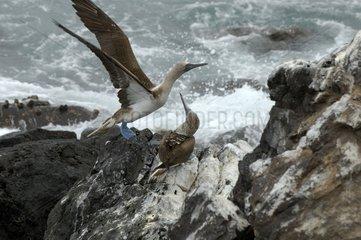 Fous à pieds bleus Ile de Santa Fé Galapagos