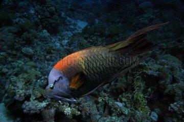 Labre traitre nageant devant un récif Mer rouge