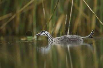 Young Great Crested Grebe stretching over the water - Alsace France