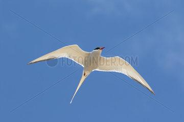 Arctic tern (Sterna paradisaea) tern in flight  Shetland  Spring