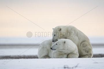 Polar bear (Ursus maritimus) lying on shore  Barter Island  North of the Arctic Circle  Alaska.