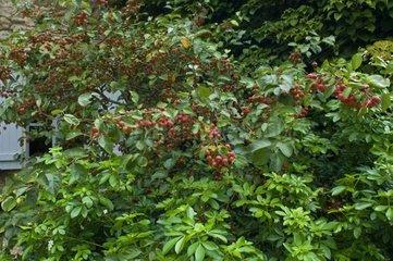 Pommier décoratif 'Cowichan' en fruit dans un jardin
