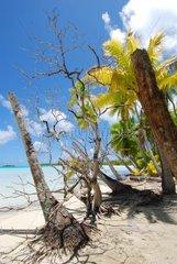 Dead palm trees on a beach French Polynesia