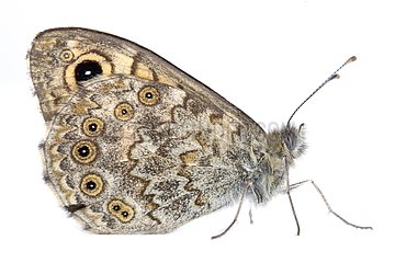 Wall Brown profile on a white background