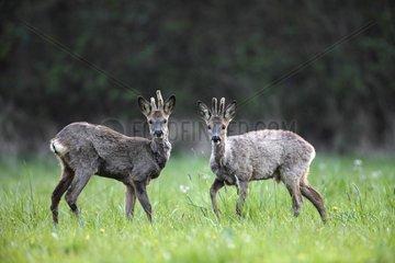 Roe deers in a hay meadow in early spring