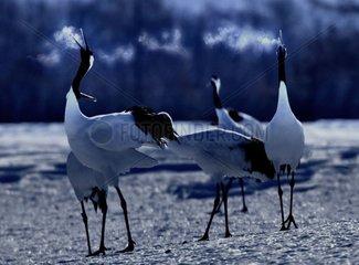Crane of Japan in wintering Hokkaïdo Japan