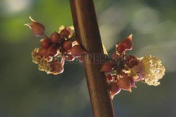 Castorbean flowers