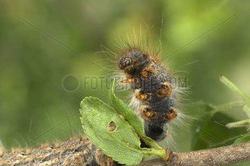 Caterpillar of drinker moth Bourgogne France