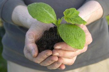 Plant de potimarron avant repiquage au potager en avril