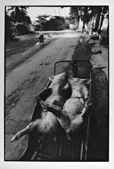 Cochon sur le dos dans une brouette Hongai Viêt Nam