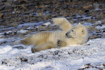 Polar bear rolling itself in snow Canada