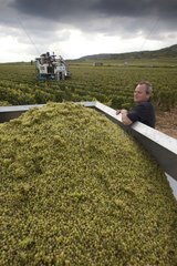 Winemaker to a trailer full of grapes France