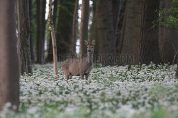 European Roe Deer in a forest in the plain of Alsace