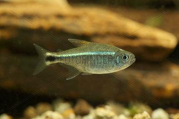 Gold tetra (Hemigrammus rodwayi) in aquarium