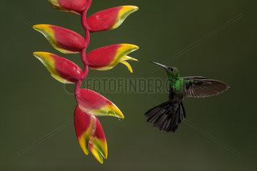 Green-crowned brilliant (Heliodoxa jacula)  male feeding on heliconia flower  Costa Rica  July  Costa Rica  July