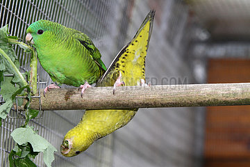 Catherine parakeet (Bolborhynchus lineola)  Female phenotype wild and male mutation dark green double factor