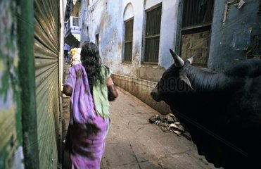 Holy cow and woman in the streets of Vârânaçî India