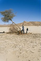 Tuaregs cutting and collecting wood of acacia Sahara