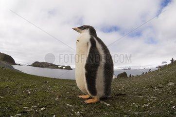 Gentoo penguin Aitcho South Shetland Island Antarctica