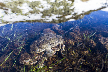 Natterjack toad (Bufo calamita) amplexus in pond in mountain in spring  Guadarrama National Park  Spain