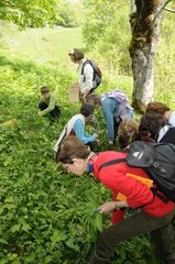 Piking up Ramsons in an undergrowth to prepare food France