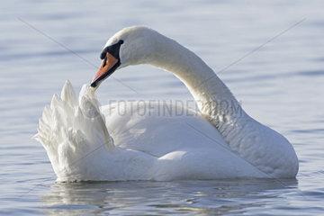 Mute swan (Cygnus olor) preening itself  Geneve lake   Schwitzerland