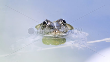 Lowland Frog (Rana ridibunda) in a garden pond  France