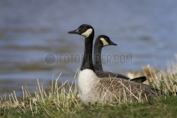Canada geese resting on the shore - Belgium
